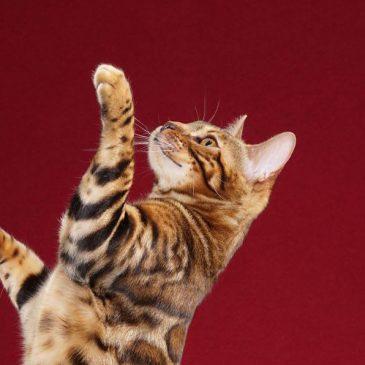 hypoallergenic bengal cat