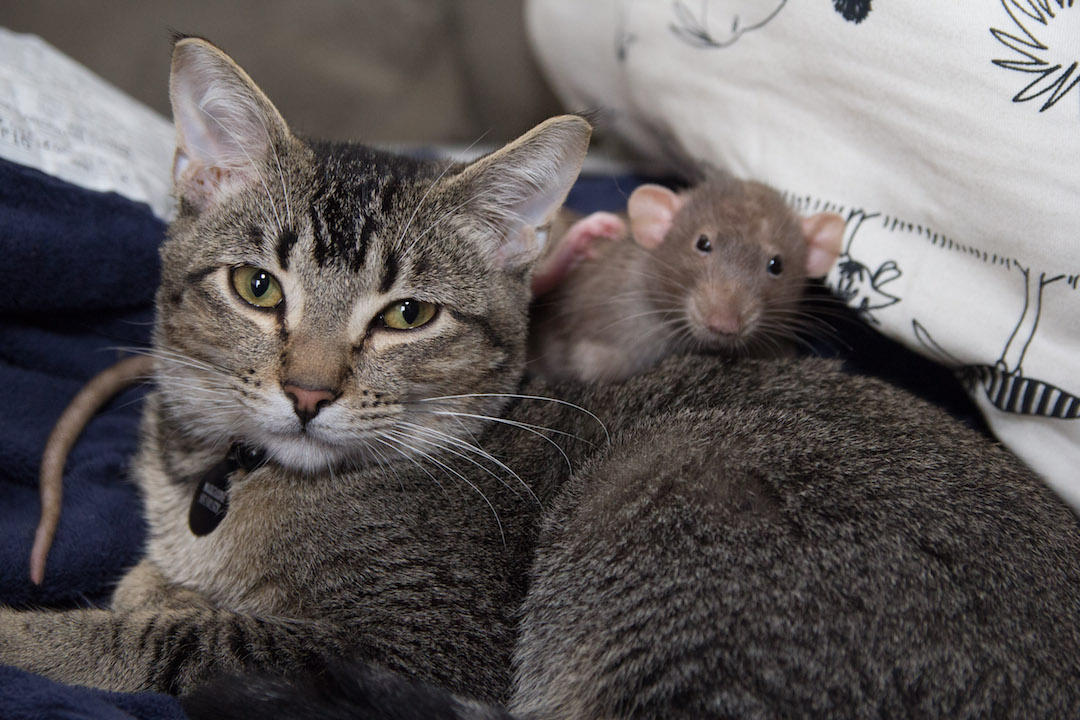 Rat hanging out with a cat